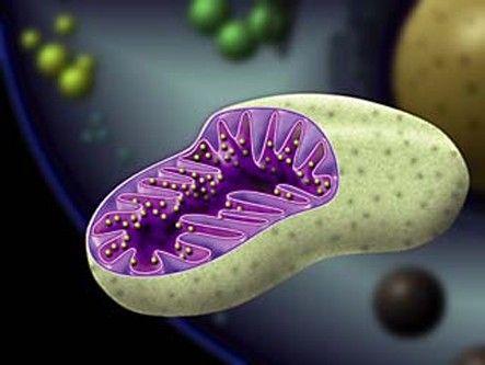 Mitochondria Who Discovered the Mitochondria